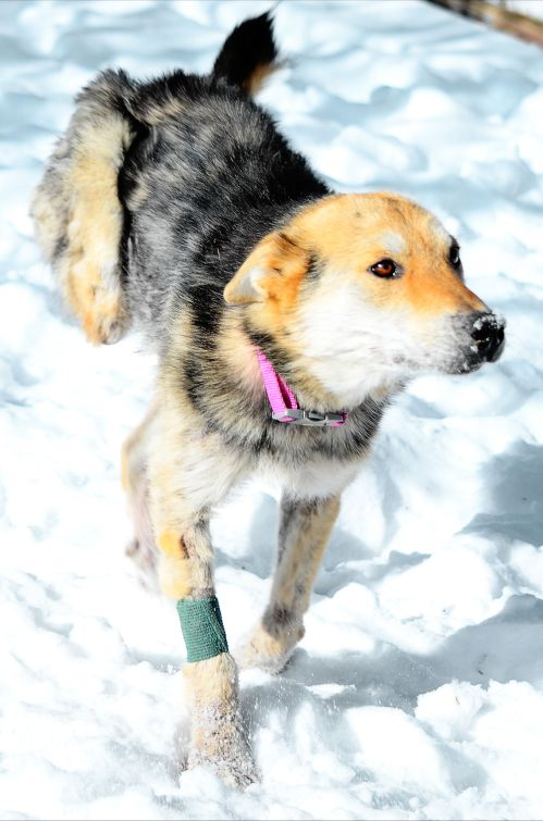 Jeannie, a rescue dog, lost her leg in a leghold trap