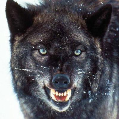 The Grey Black Wolf